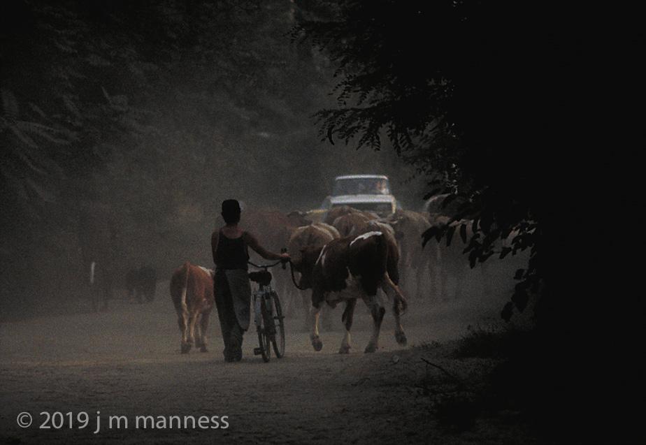 Cattle Drive - Kisoroszi, Hungary