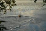 Swan 013 - Estonia