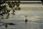 Swan 015 - Estonia