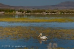 Pelican, Tule Lake National Wildlife Refuge 12069 - Oregon
