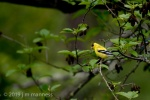 Goldfinch 5430 - Oregon